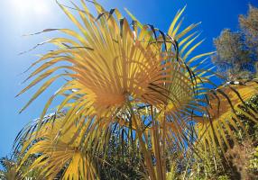 Coccothrinax proctorii, palmera endémica de las Islas Caimán