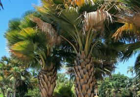 Copernicia baileyana, especie cubana de sabana.