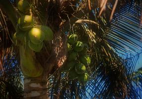 Varios cocoteros, Cocos nucifera, fructifican regularmente en el Palmetum.