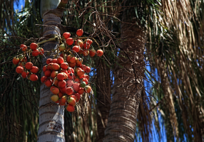 Frutos maduros de Wodyetia bifurcata, palmera australiana llamada Cola de zorro