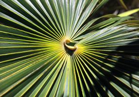 Hoja de Coccothrinax macroglossa, de Cuba