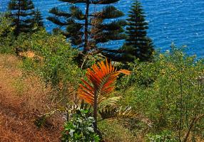 Vegetación de Nueva Caledonia: Una hoja roja de Chambeyronia macrocarpa, con araucarias al fondo