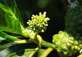 Inflorescencias de Morinda citrifolia, Noni