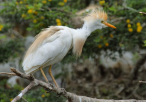 Cattle egret (Bubulcus ibis) in Montagu, South africa