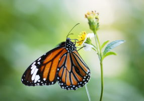 Closeup of Monarch butterfly