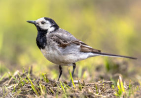 White wagtail (Motacilla alba) bird walking on farmland in Belgian countryside.