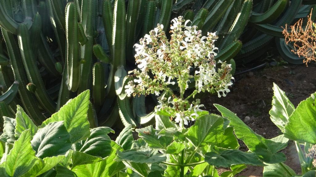 Salvia broussonetii